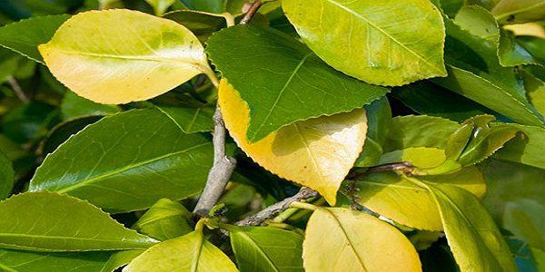 علاج اصفرار أوراق أشجار